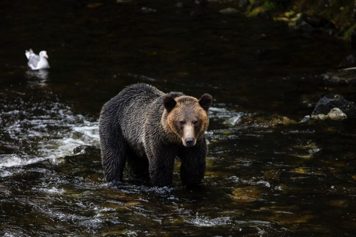 Bear watching in canada Delmar World