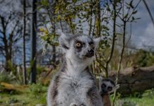 chester zoo twin lemurs born