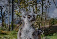chester zoo twin lemurs born